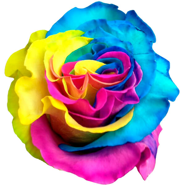 Rainbow roses buy the nursery rainbow rose seeds online at for Buy rainbow rose seeds